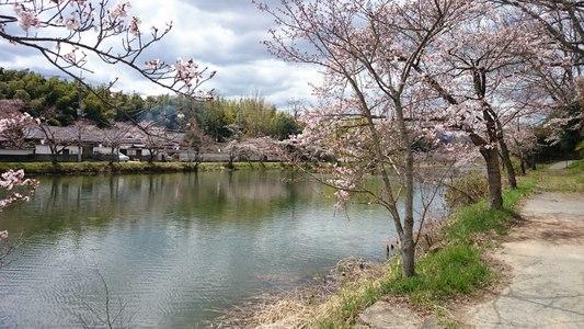 桜咲く  篠山城址 お濠「南外濠」